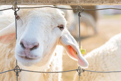 Sheep in farm Royalty Free Stock Photo