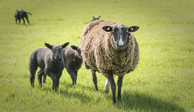 Sheep on a farm Stock Photos