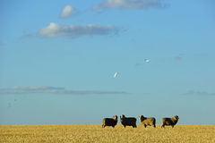 Sheep on farm in central Victoria, Australia Royalty Free Stock Photography