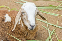 Sheep In Farm. Royalty Free Stock Photo