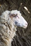 Sheep on a farm. Close up of sheep in a farm stock photos