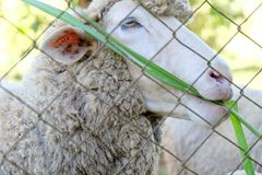 Sheep in the farm Royalty Free Stock Photography