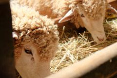 Sheep in the farm Stock Photography