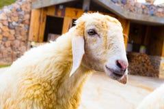Sheep Farm Royalty Free Stock Photo