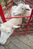 Sheep in farm Stock Photos