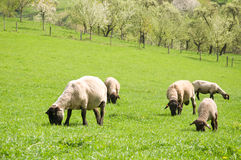 Sheep farm countryside Royalty Free Stock Photography