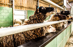 Sheep in a farm Royalty Free Stock Image
