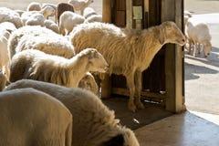 Sheep at a farm Stock Photos