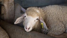 Sheep in farm Royalty Free Stock Photo