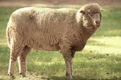 Sheep on the farm during the day. Time stock photography