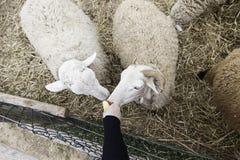 Sheep on a farm Royalty Free Stock Photos