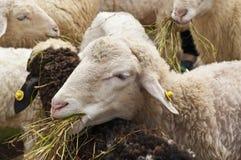 Sheep in farm. Stock Photography