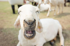 Sheep farm in eating grass , soft focus amd vintage style Royalty Free Stock Photo
