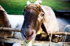 Sheep farm eating. Stock Photography