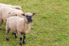 Sheep on farm in England. Royalty Free Stock Photography