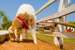 Sheep in farm Stock Images