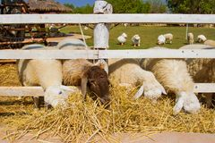 Sheep in farm Royalty Free Stock Photos