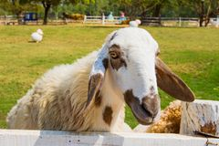 Sheep in farm Royalty Free Stock Image