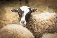 Sheep on a farm Royalty Free Stock Image