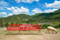 The sheep farm in the fruit orchard with red long chair and beautiful blue sky and cloud among mountain Royalty Free Stock Image