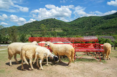 The sheep farm in the fruit orchard with red long chair and beautiful blue sky and cloud among mountain Stock Photos