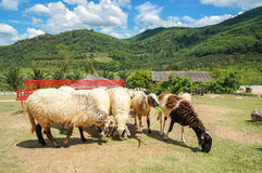 The sheep farm in the fruit orchard with red long chair and beautiful blue sky and cloud among mountain Stock Photo