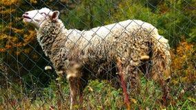 Sheep at Farm stock video