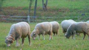 Sheep on a farm. Sheep graze on a farm in summer Royalty Free Stock Photos