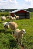 Sheep Farm Stock Photography