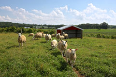 Sheep Farm Royalty Free Stock Images