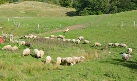Sheep farm Stock Image