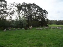 Farm and Sheep. This is a sheep farm with a green grass. It is beautiful nature Stock Photos