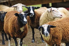 Sheep on a farm. Group of cute sheep standing on small scale biodynamic farm stock photo