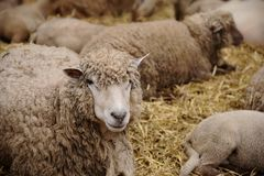 Sheep in the farm. A group of sheep in the local farm in Belgium royalty free stock images