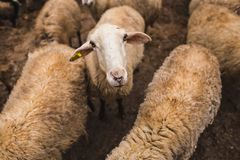 Sheep on the farm. Growing farm animals. Production of raw materials for the manufacture of wool yarn. Sheep`s wool royalty free stock image