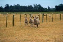 Sheep on farm royalty free stock image