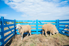 Sheep on a farm Royalty Free Stock Photography
