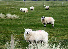 Sheep on a farm in Ireland Royalty Free Stock Photos