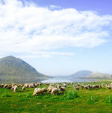 Sheep on a farm Royalty Free Stock Images