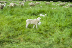 Sheep Farm 2. Sheep farm - sheep and lambs - close-up - green grass - trees - spring time Stock Photo