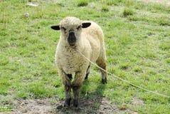 Sheep in the farm land Stock Photos