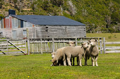 Sheep on a farm at the Last Hope Sound Royalty Free Stock Photo