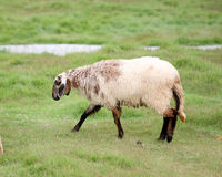 Sheep in the farm. Royalty Free Stock Image