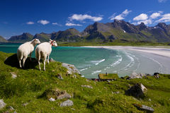 Sheep farm on Lofoten Stock Images