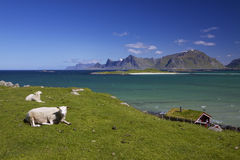 Sheep farm on Lofoten Stock Photos