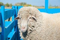 Sheep on a farm Stock Image