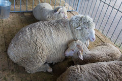 Sheep on the farm are lying on the floor of the barnr Stock Photo