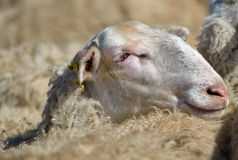 Sheep. Of farm from Macedonia Stock Photography