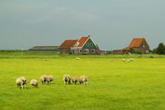 Sheep and farm in Marken. Stock Photos