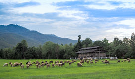 Sheep farm in the meadow Royalty Free Stock Photos